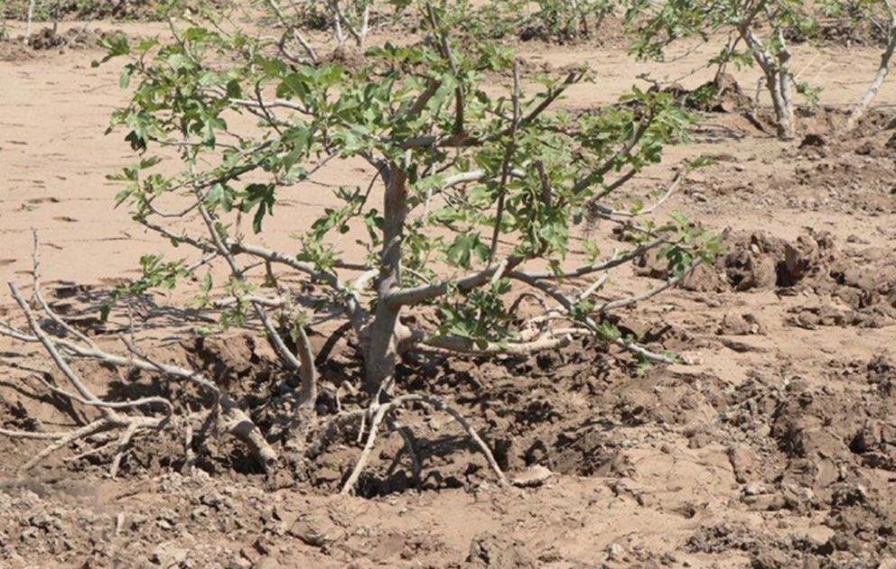 ۱۰۰ هکتار از باغات انار تنگ سیاب کوهدشت از رسوبات سیل پاکسازی شد/ پاکسازی باغات انجیر پلدختر در حال انجام است